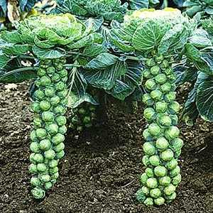 brussels-sprouts1